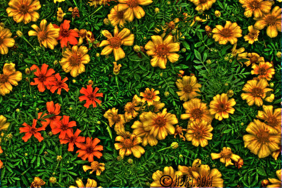 HDR Flower 1 by Nebey on DeviantArt